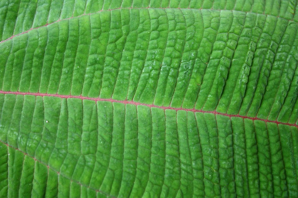 Close-up of a large green leaf : Free Stock Photo