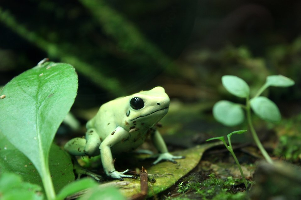 Close-up of a light green frog : Free Stock Photo