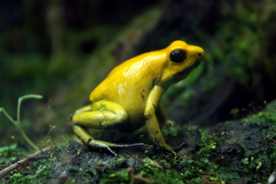 Close-up of a yellow frog : Free Stock Photo
