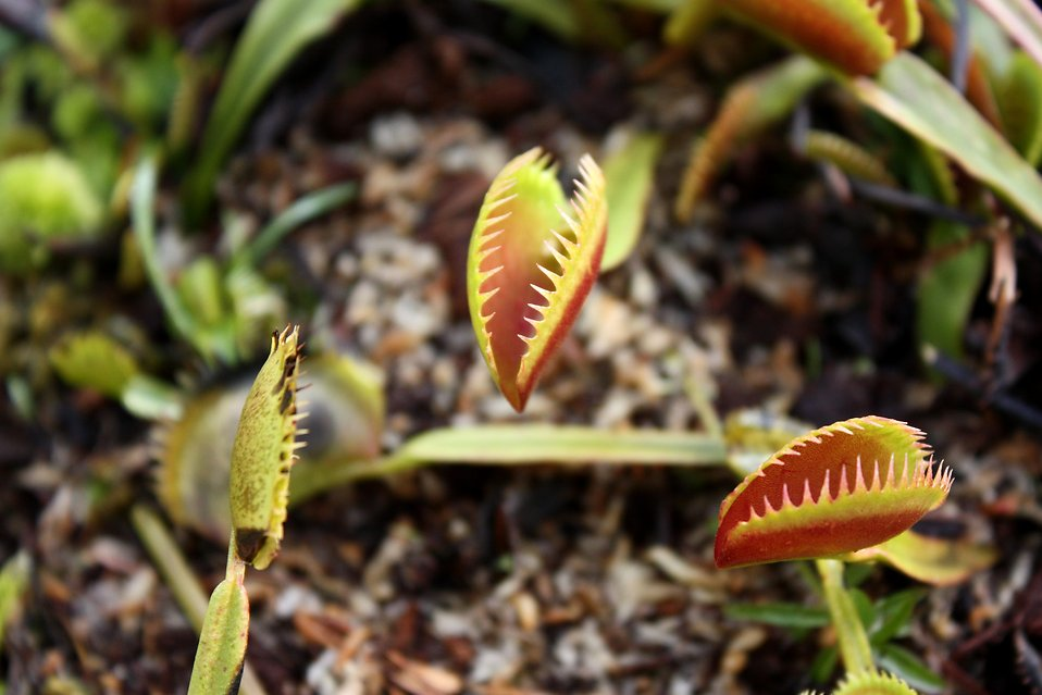 Close-up of venus fly trap plants : Free Stock Photo