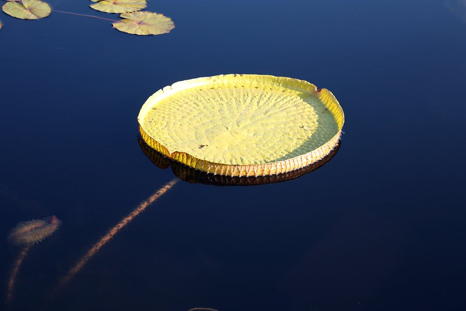 A large lily pad on dark blue water : Free Stock Photo