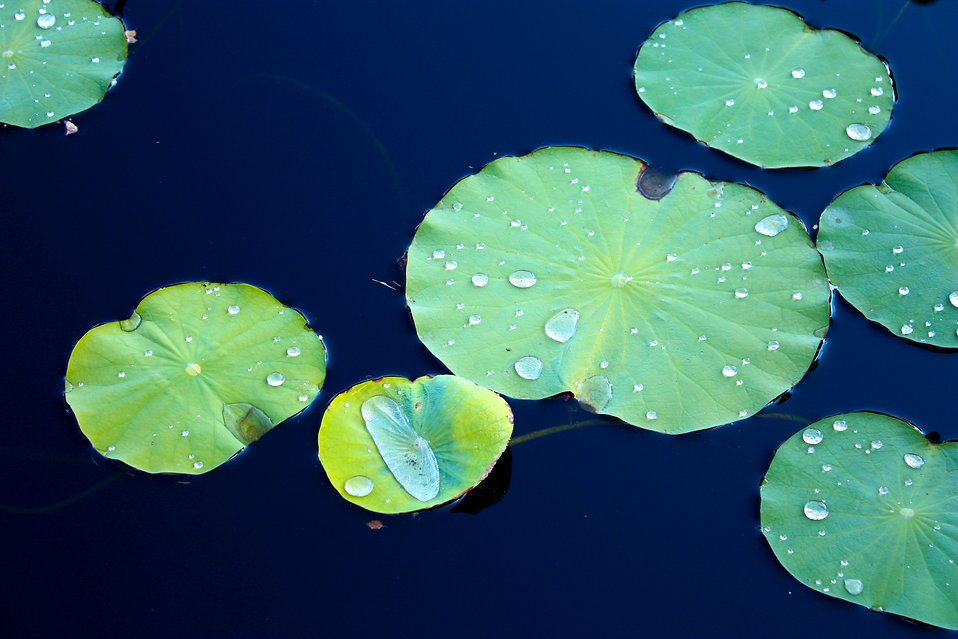 Lily pads on dark blue water : Free Stock Photo