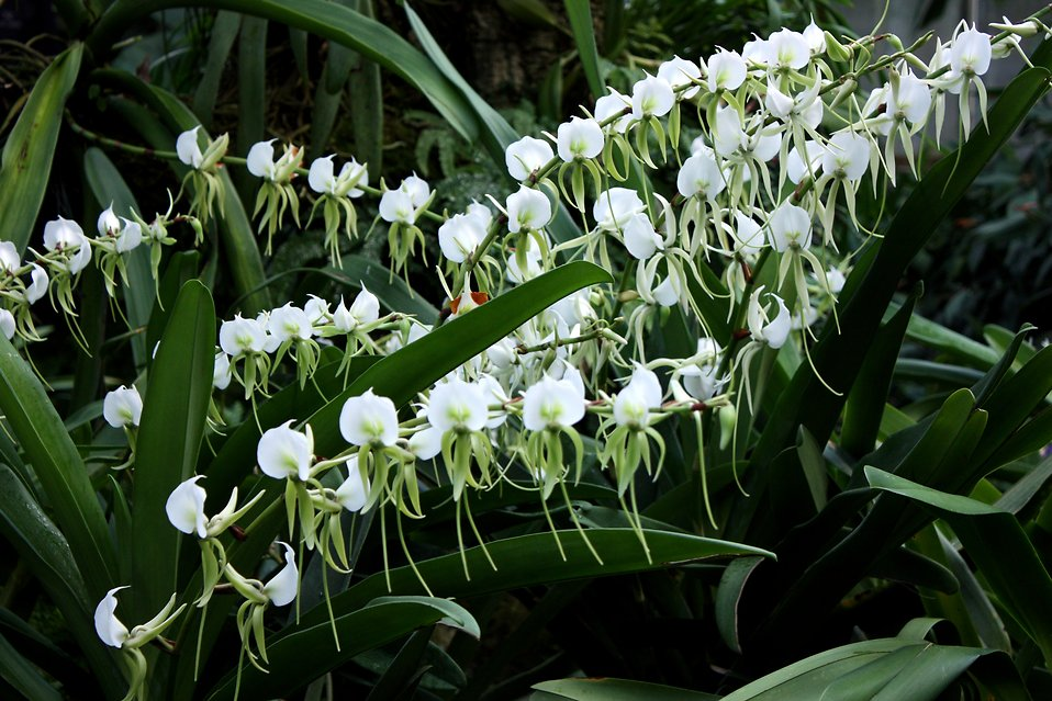 A large cluster of white orchid flowers : Free Stock Photo