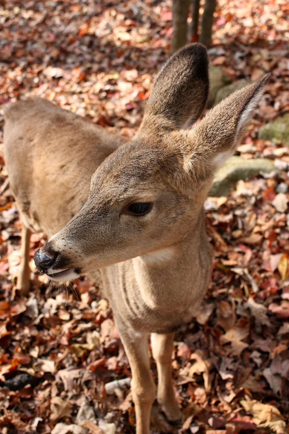 Close-up of a doe in the woods : Free Stock Photo