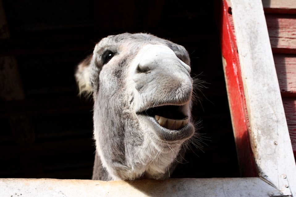 A donkey sticking its head through a barn window : Free Stock Photo