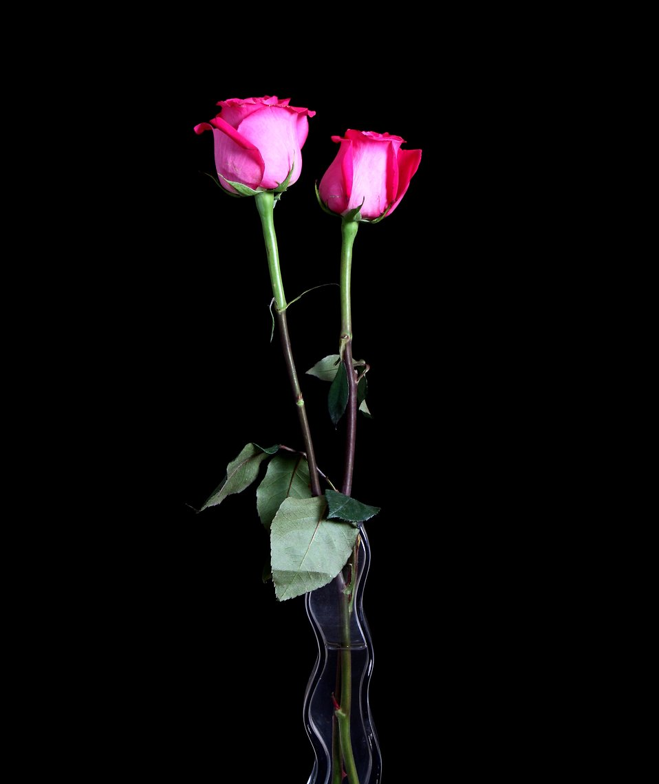 Two pink roses in a glass vase isolated on a black background : Free Stock Photo