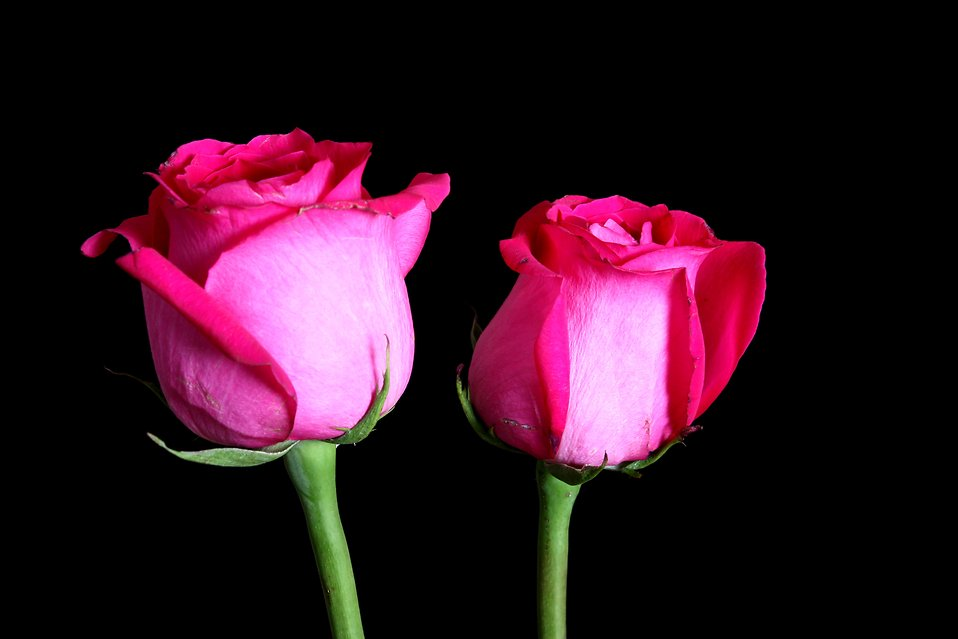 Two pink roses isolated on a black background : Free Stock Photo