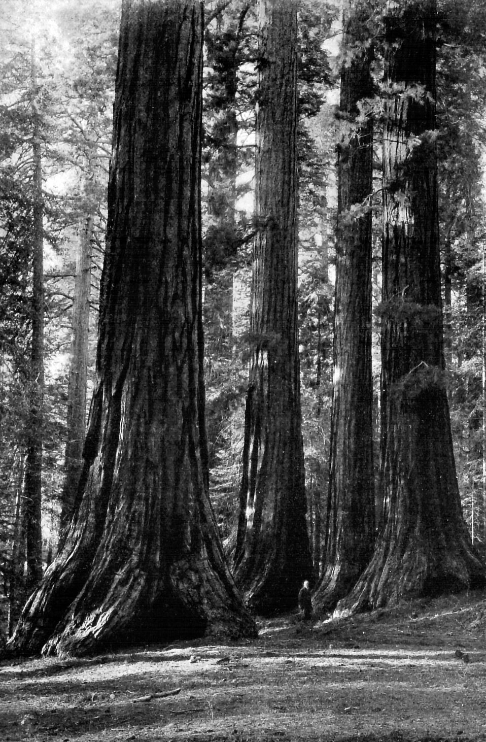 Vintage photo of a man standing by giant sequoia trees : Free Stock Photo