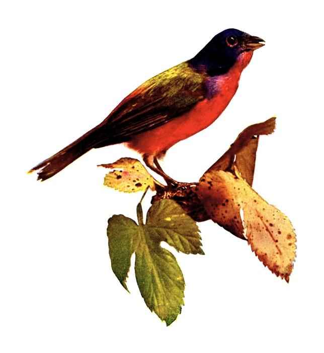 Vintage illustration of a nonpareil bird : Free Stock Photo