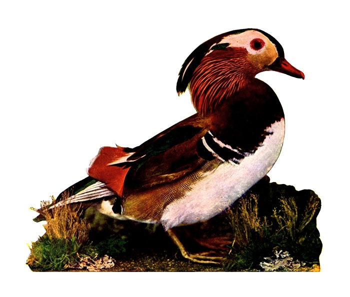 Vintage illustration of a mandarin duck : Free Stock Photo