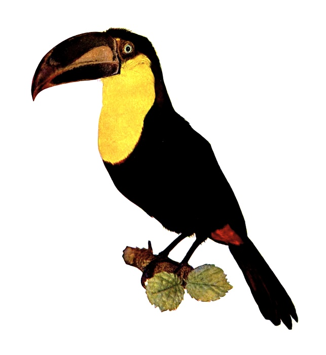Vintage illustration of a yellow throated toucan : Free Stock Photo