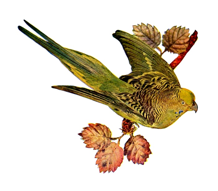 Vintage illustration of an Australian grass parakeet : Free Stock Photo