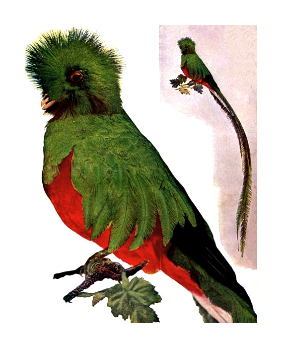 Vintage illustration of a resplendent trogon bird : Free Stock Photo