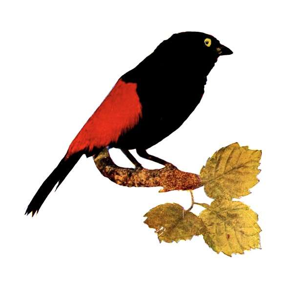 Vintage illustration of a red rumped tanager : Free Stock Photo
