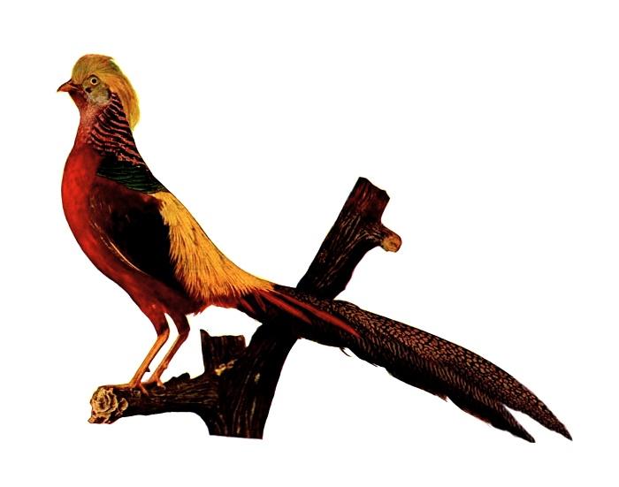 Vintage illustration of a golden pheasant : Free Stock Photo