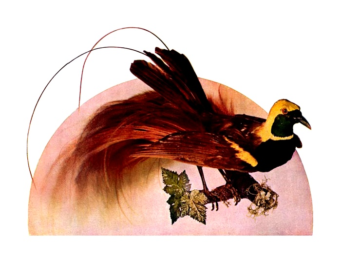 Vintage illustration of a red bird of paradise : Free Stock Photo