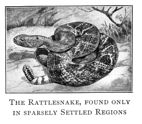 Vintage illustration of a rattlesnake.