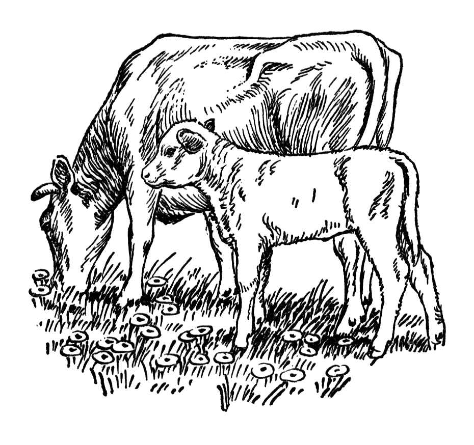 Vintage illustration of a cow and calf grazing in a field.