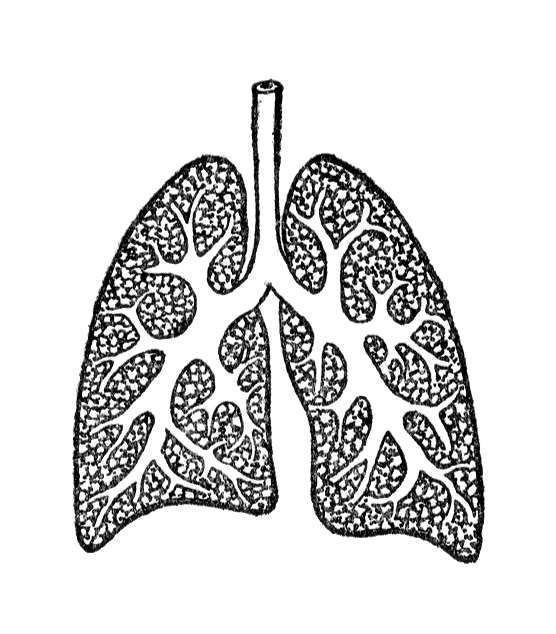Vintage illustration of lungs : Free Stock Photo