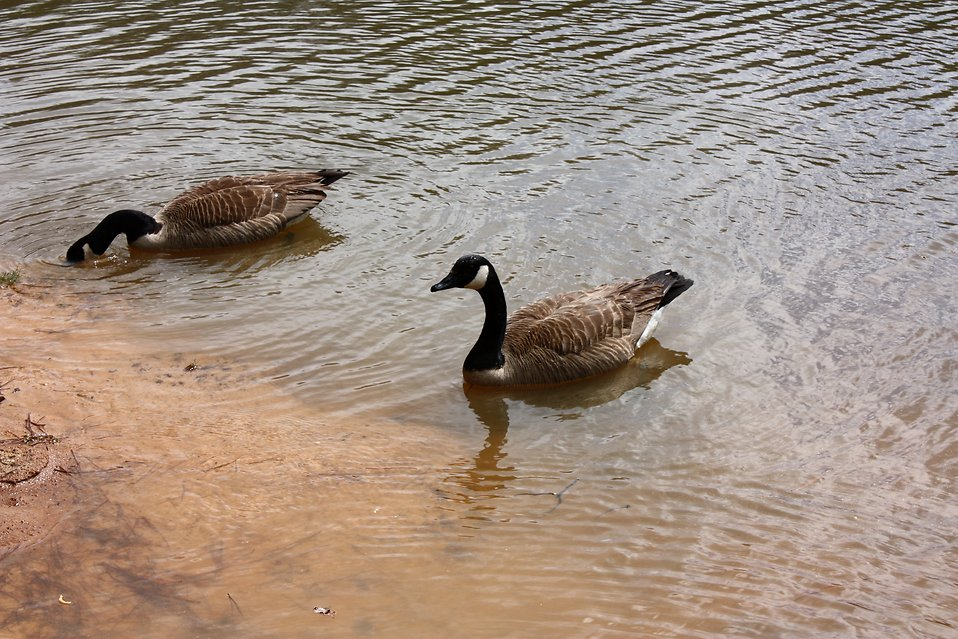 Canadian geese swimming on a lake : Free Stock Photo