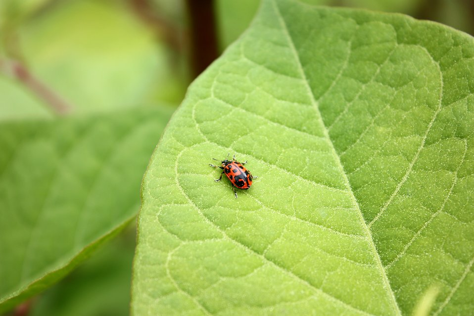 A ladybug on a large green leaf : Free Stock Photo