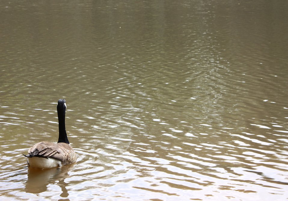 A Canadian goose swimming on a lake : Free Stock Photo