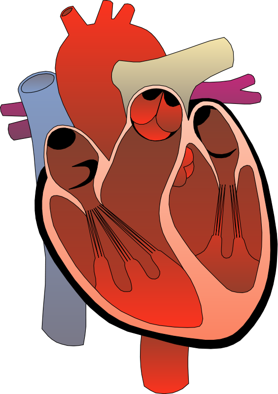 Medical illustration of a human heart : Free Stock Photo