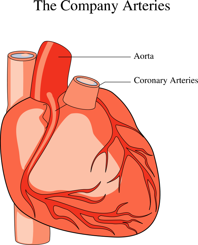 Medical illustration of a human heart.
