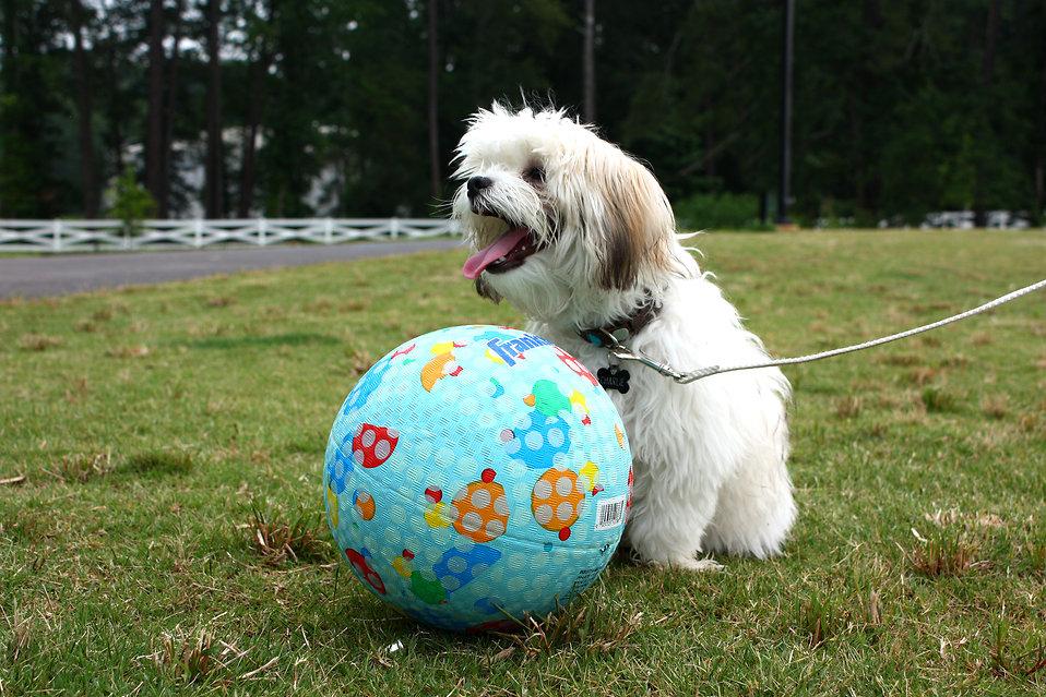 A small dog sitting in the grass by a ball : Free Stock Photo