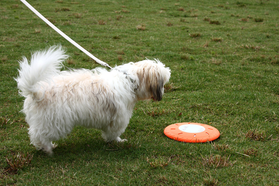 A small dog on a leash standing by a frisbee : Free Stock Photo