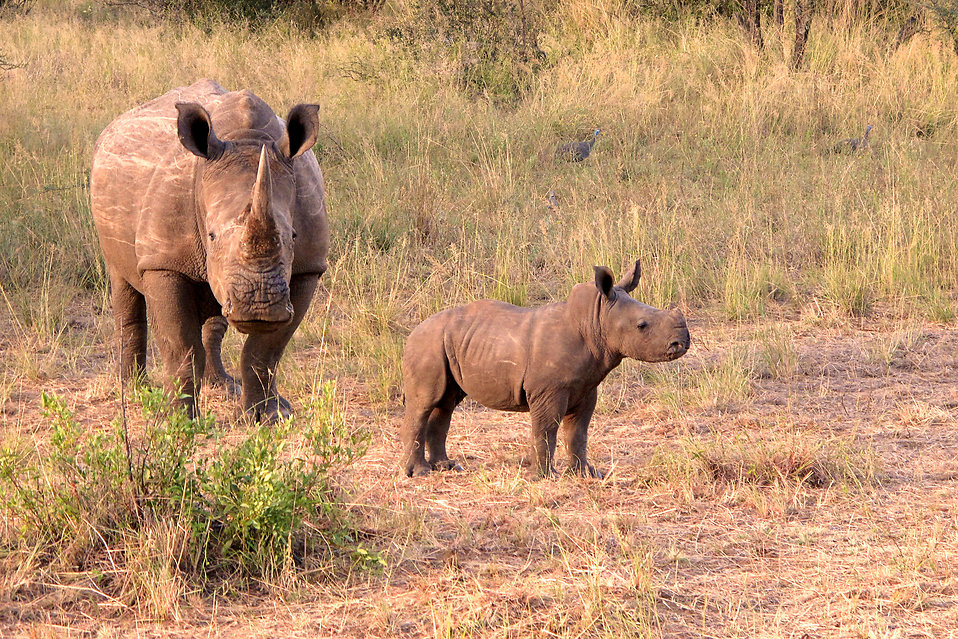 A rhinoceros with calf standing in tall grass : Free Stock Photo