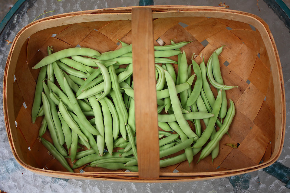 Freshly picked beans in a basket : Free Stock Photo
