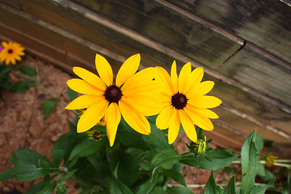 Large yellow flowers in a garden : Free Stock Photo