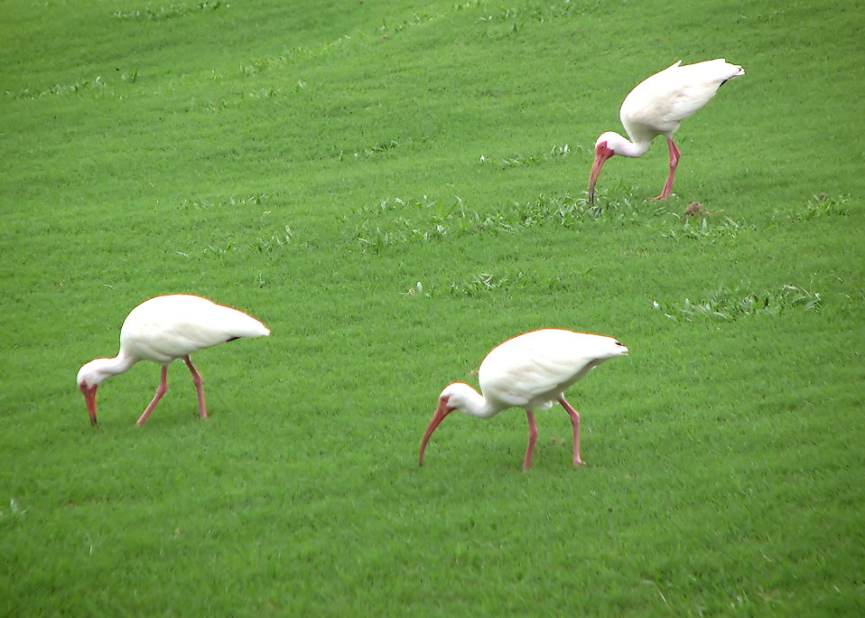 Three ibises in green grass : Free Stock Photo