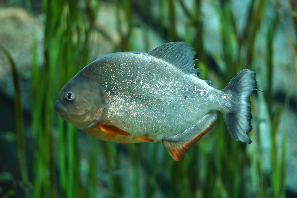 Close-up of a piranha : Free Stock Photo
