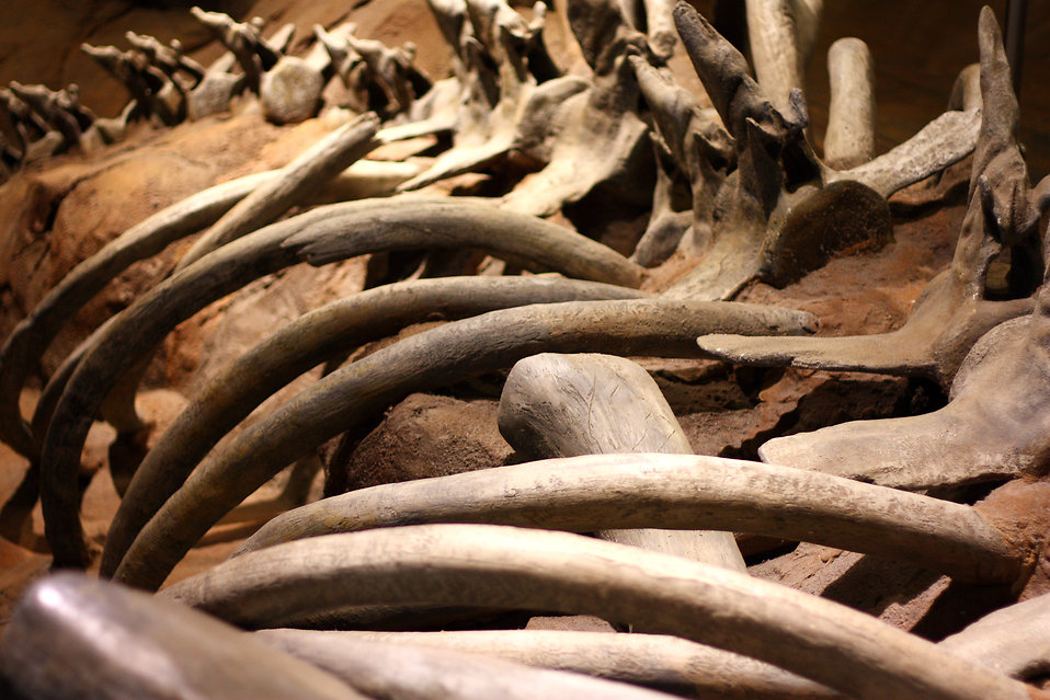 Close-up of whale bones : Free Stock Photo