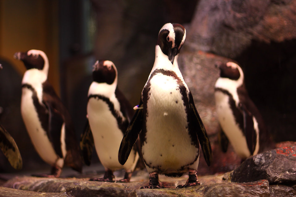 A group of African penguins : Free Stock Photo