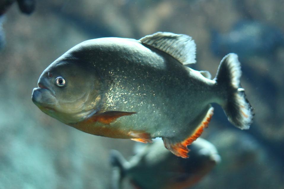 Close-up of a piranha : Free Stock Photo