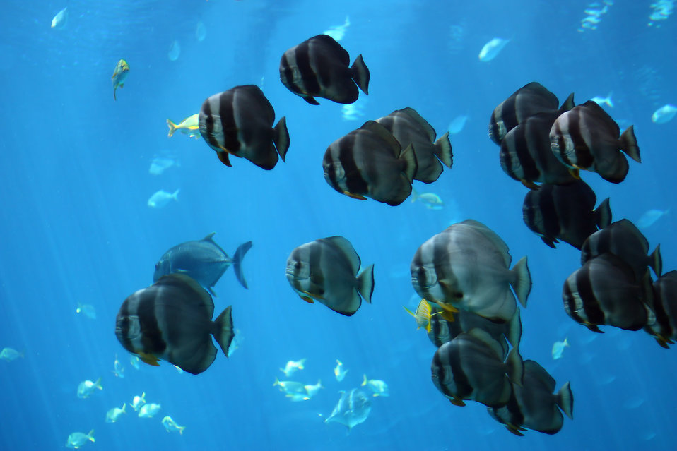 Schools of tropical fish swimming under water.