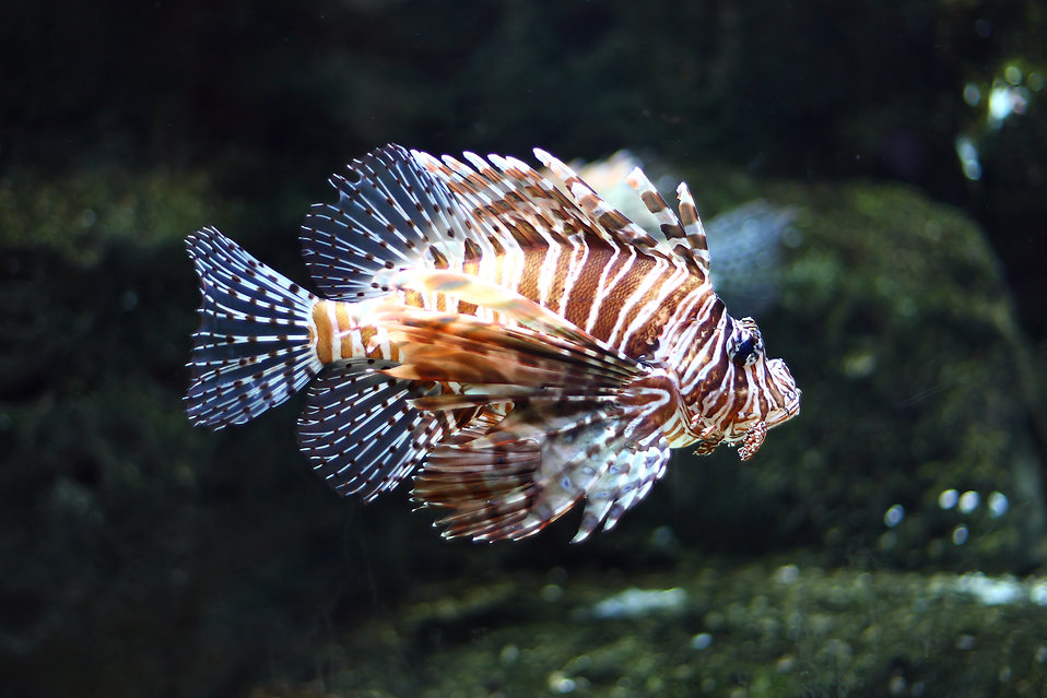 A lionfish swimming under water : Free Stock Photo