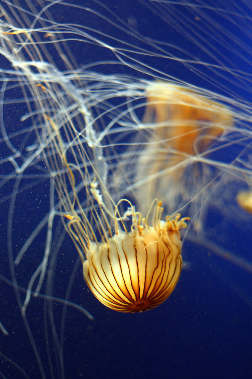 A jellyfish swimming in the ocean : Free Stock Photo