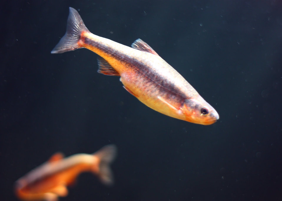 Close-up of a fish swimming under water : Free Stock Photo