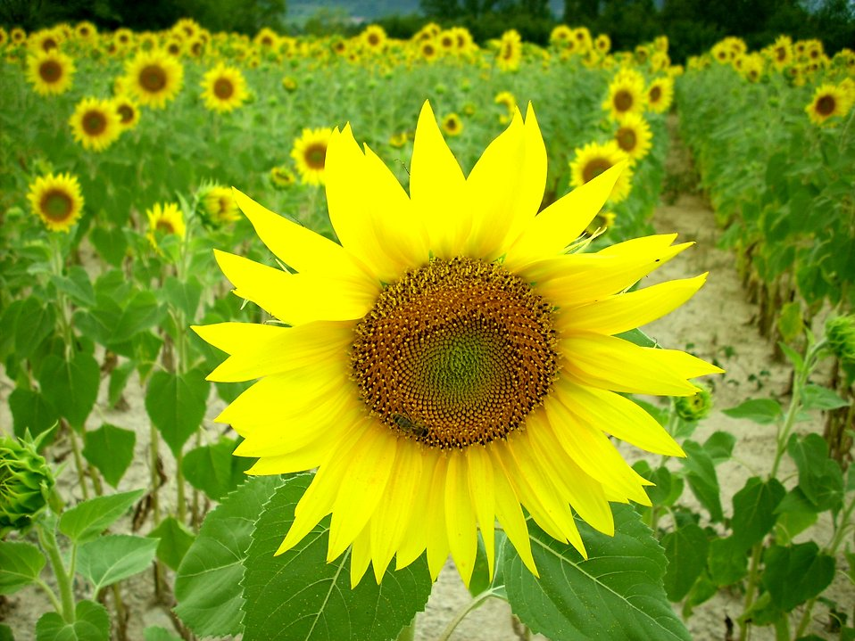 A field of Sunflowers : Free Stock Photo
