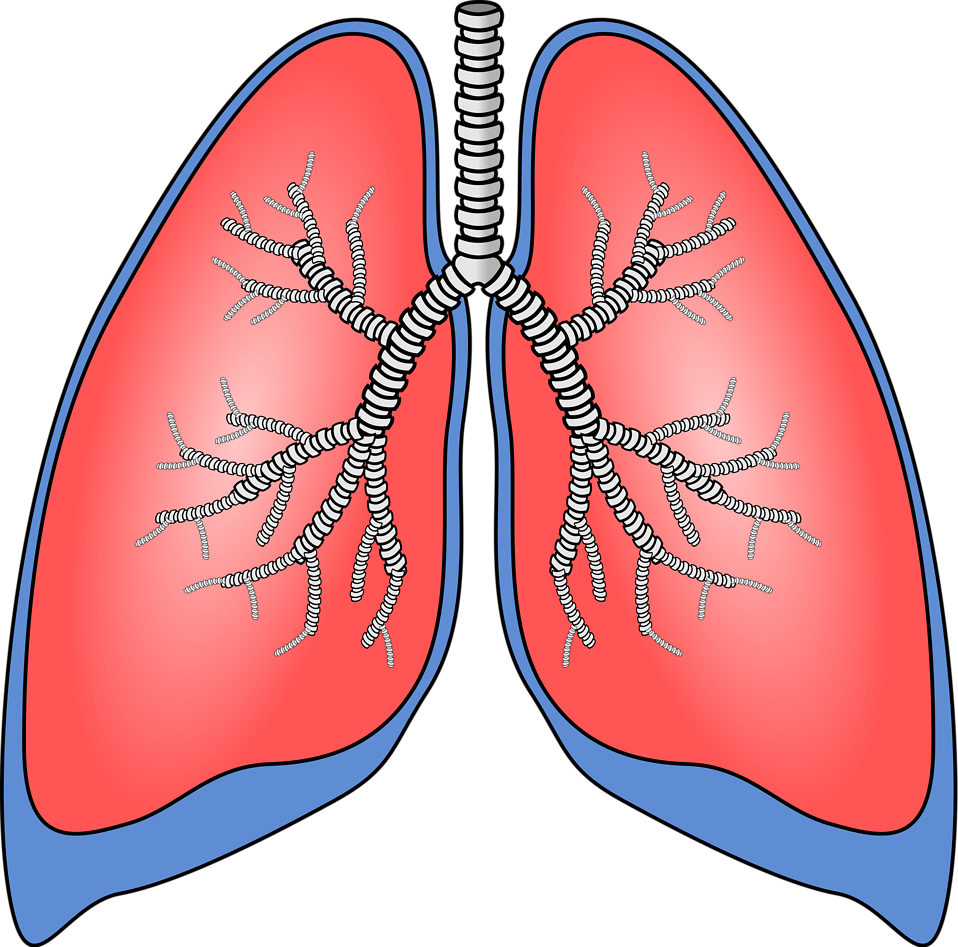 Illustration of a pair of lungs : Free Stock Photo