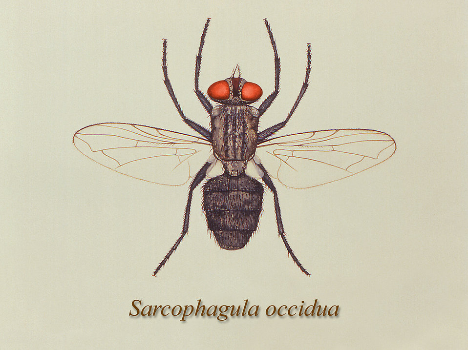 Illustration of a Small Flesh fly : Free Stock Photo