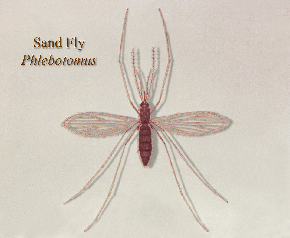 Illustration of a sand fly : Free Stock Photo