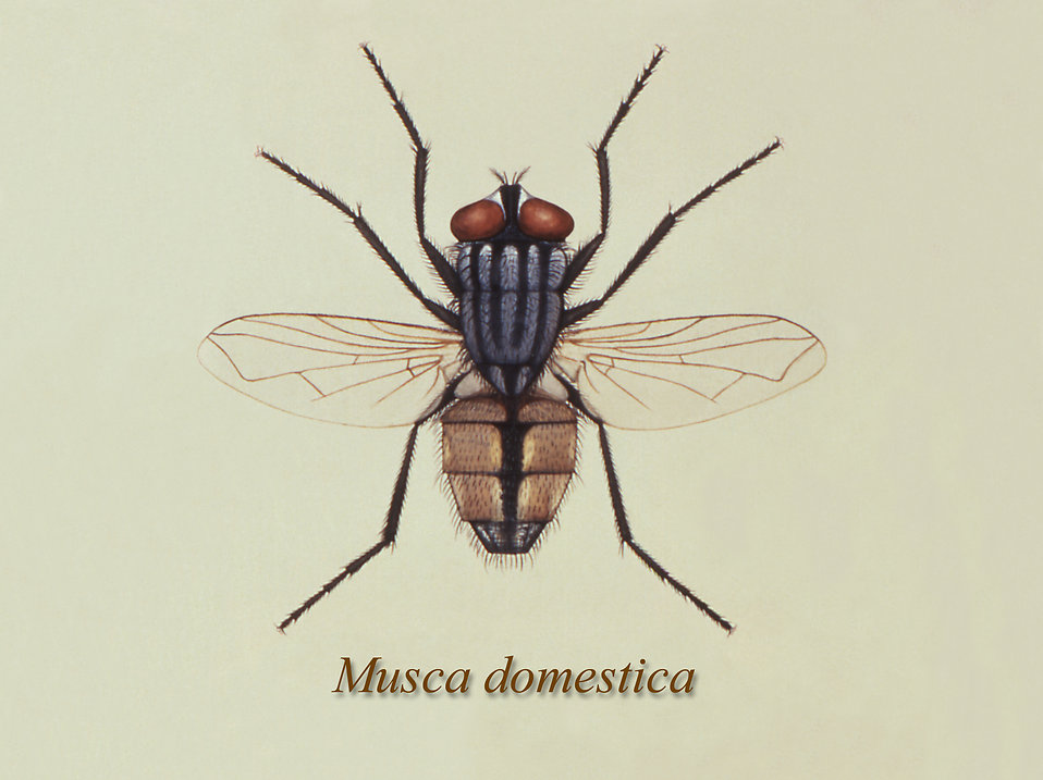 Illustration of a common house fly : Free Stock Photo