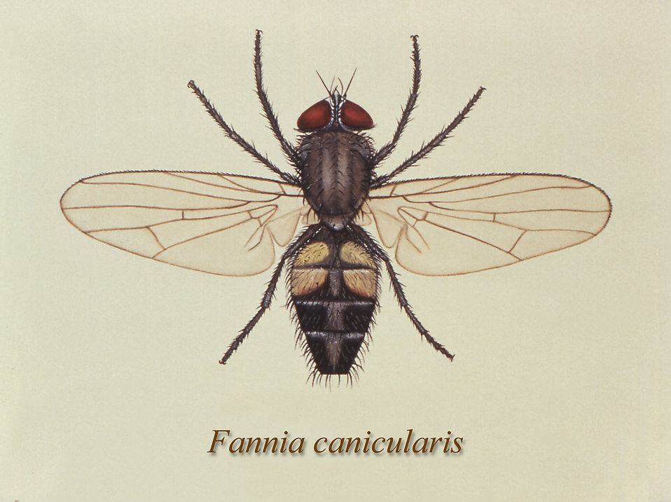 Illustration of a Lesser house fly : Free Stock Photo