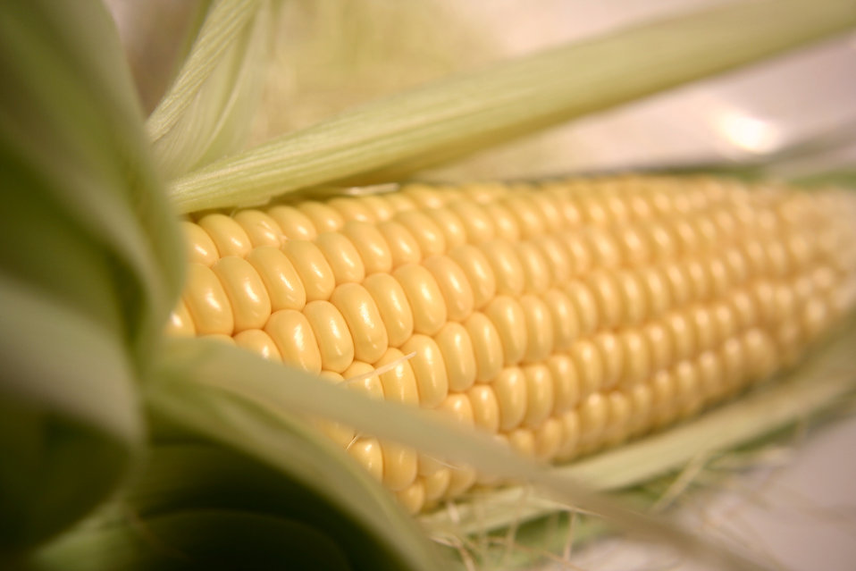 An ear of corn with husk : Free Stock Photo