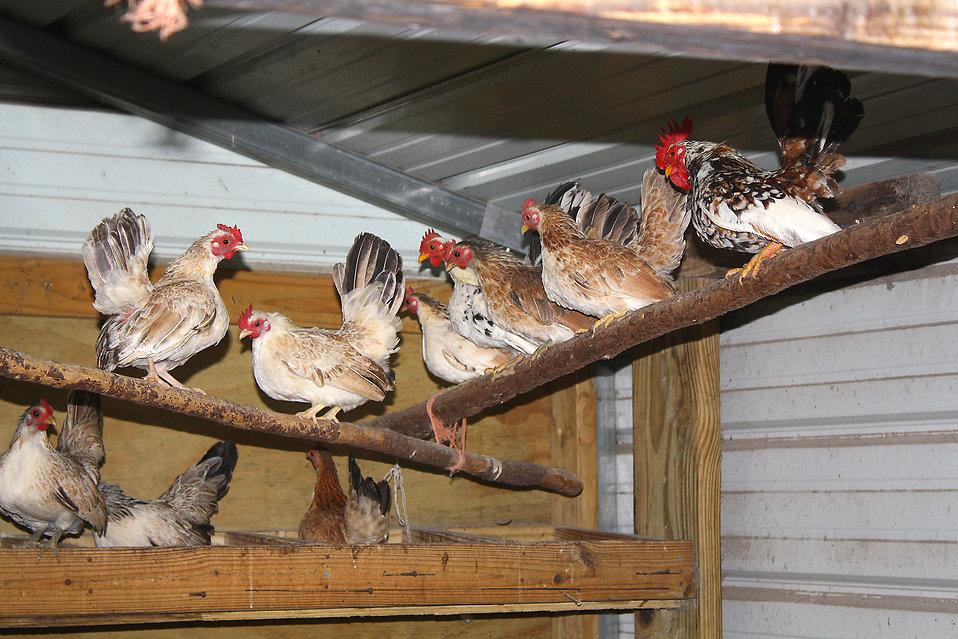Inside Chicken House chik tim: february 2015